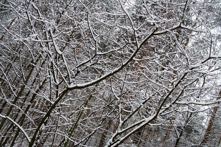 Snow Covered Tree Branches in Winter Forest 2 Stock Photo - 748739