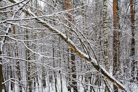 Snow Covered Tree Branches in Winter Forest 3 Stock Photo - 748737