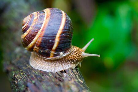 Snail in a Summer Garden. Close-Up