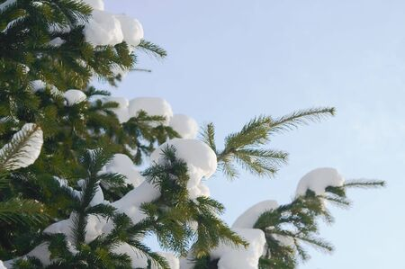 Snow on a Pine Branch 2 Stock Photo - 797619