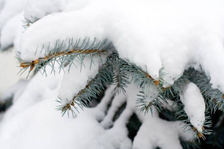 Branches of a winter spruce tree covered with fluffy snow Stock Photo - 2138431