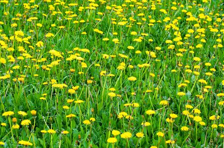 Meadow with yellow dandelions Stock Photo - 3243917