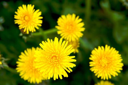 Meadow with yellow dandelions Stock Photo - 3243848