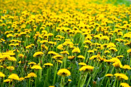 Meadow with yellow dandelions Stock Photo - 3243914