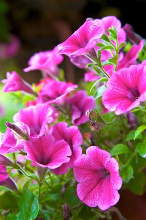 poster bed: Petunia Blossom