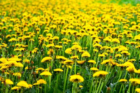 Meadow with yellow dandelions Stock Photo - 3817580