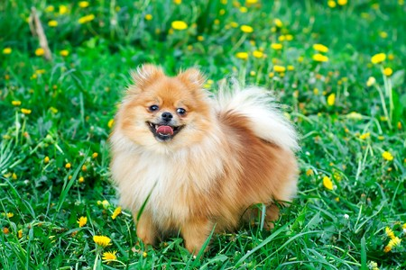 Spitz dog on a green lawn with dandelions