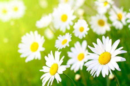 Daisy flower on green  meadow (selective DOF)