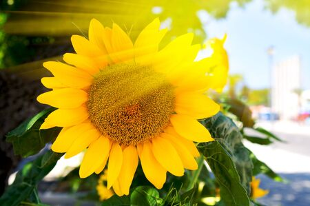 Bright yellow sunflower Stock Photo - 4349219