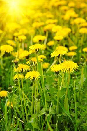 Meadow with yellow dandelions photo