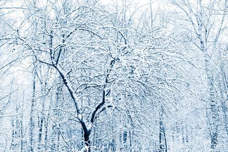 enero: Bosque de invierno. Snow hab�a cubierto de �rboles. Matiz azul