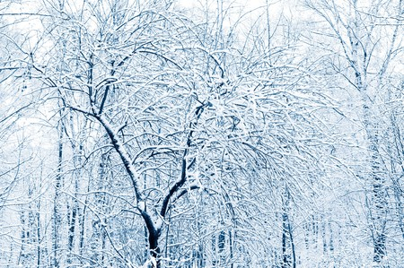 covered: Winter forest. Snow covered trees. Tint blue