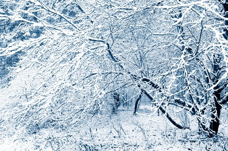 Winter forest. Snow covered trees. Tint blue