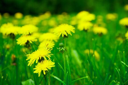 Meadow with yellow dandelions Stock Photo - 6937343