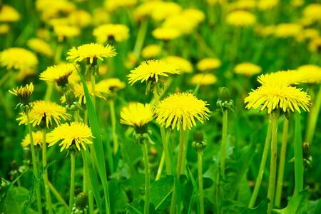 Meadow with yellow dandelions Stock Photo - 6937424