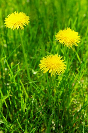 Meadow with yellow dandelions Stock Photo - 6937432