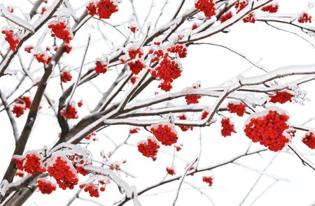 Branches of mountain ash in the ice