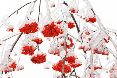 bunchy: Branches of mountain ash in the ice