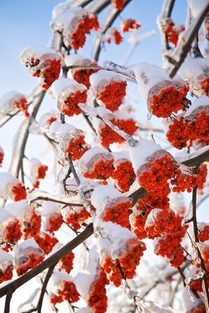 bunchy: Ramas de berry de ceniza en el hielo