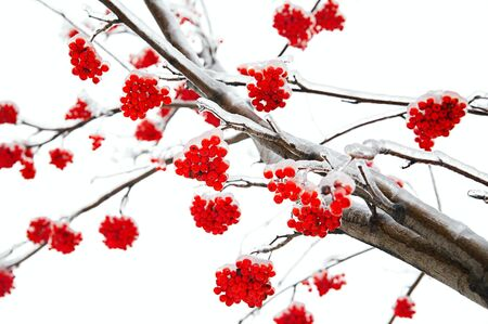 Branches of mountain ash in the ice Stock Photo - 17459658