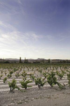 Vineyard in La Rioja, detail of plantation of fruit, grapes, wine Stock Photo