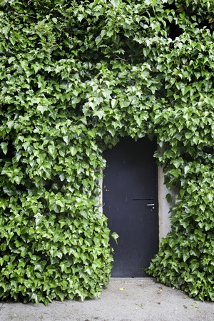 Ivy on the wall and the door, detail of a door in an old facade with plants photo