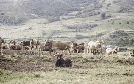 Cows in the mountains, detail of a wild animal, livestock and animal husbandry photo