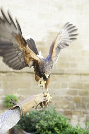 cetreria: �guila de cetrer�a, detalle de un ave silvestre en cautiverio, los animales de presa