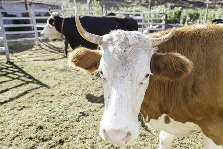 mammalian: Farm cow, detail of a mammalian animal farm