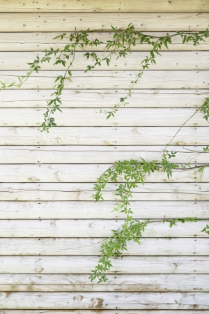 Wooden background with green ivy, detail of a wooden wall with plants, exploration and nature Stock Photo