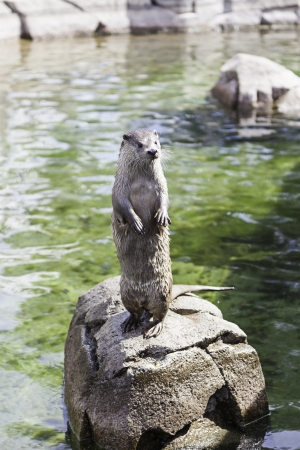 Otter resting on a rock, closeup of a wild animal in a pond in a zoo in the city