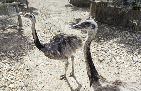 Ostrich running in the zoo, detail of a large bird in an enclosed, care and protection photo
