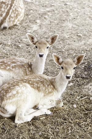 Ciervos jóvenes, detalle de un joven mamíferos, belleza natural Foto de archivo - 22653754