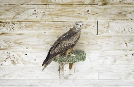 cetreria: Cautivo del �guila cetrer�a, detalle de un ave silvestre para la cetrer�a Foto de archivo