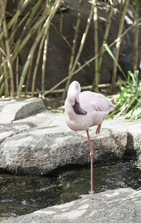 wader: White flamingo in captivity, detail of an exotic bird , wild and exotic bird