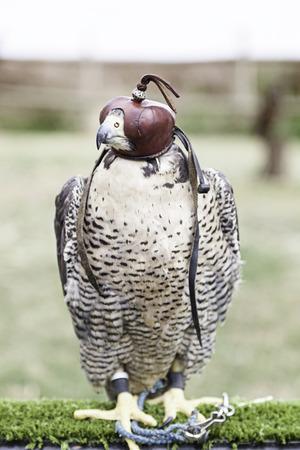 cetreria: Cetrer�a Halc�n, detalle de un ave de presa, animales peligrosos, exibition cetrer�a