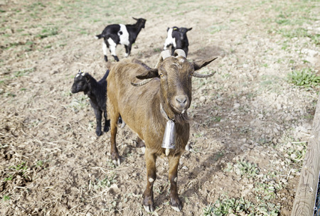 Goats on a farm eating mammals detail on a farm, rural wildlife photo