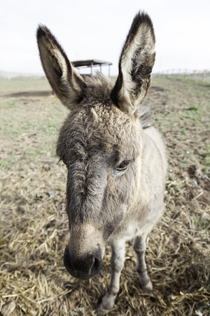 Donkey on a farm, detail of a mammal in captivity on a farm, domestic animals photo