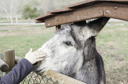 I petting a donkey on a farm, giving details of a person to an animal affection photo