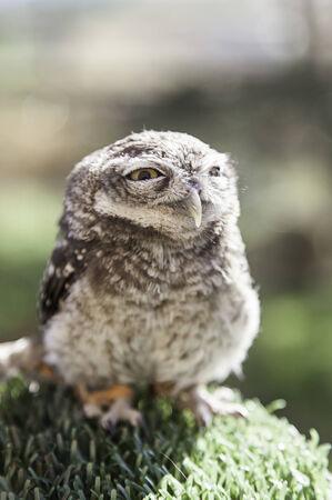 Little Owl in captivity, detail of wild animal, bird of prey photo