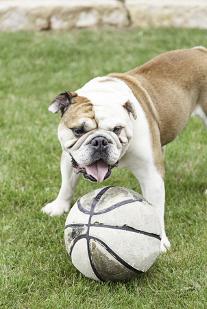 English Bulldog playing with a ball I, detail of a domestic pet playing, domesticated animal photo