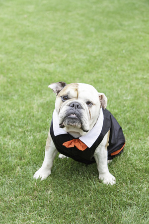 slobber: English Bulldog tuxedo, detail of a pet dog wearing suit and bow tie, funny animal