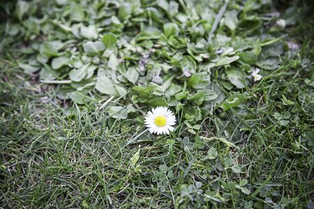 margarite: Margarita field, detail of a flower in nature