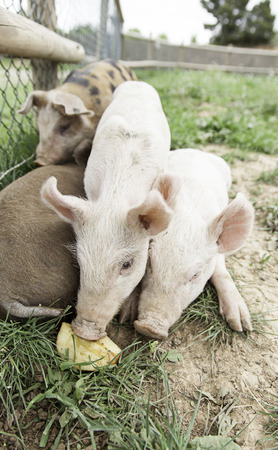 Small pigs on a farm, detail of mammals, wildlife photo