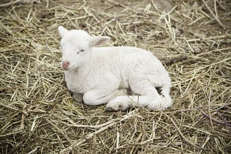 bleating: Lamb on a farm, detail of a mammal Stock Photo