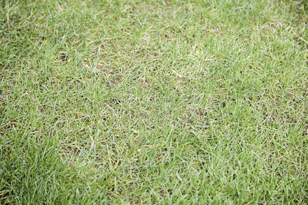 Lawn grass background texture in nature