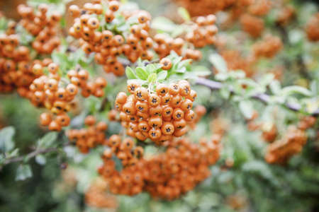 Red berries, detail of fruits of a bush in a forest Stock Photo