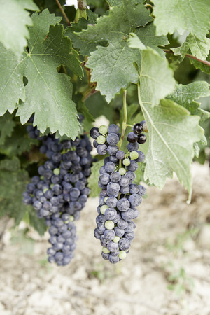 Black grapes in a vineyard detail of ripe fruit in the field