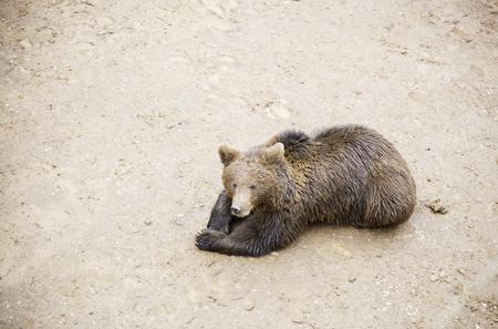fraser river: Wild grizzlies detail about wild animals, animal life Stock Photo
