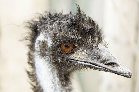 inquiring: Ostrich head, detail of a giant bird, wild animal